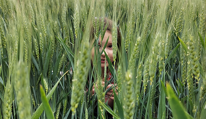 A child hiding in a field of unripe barley